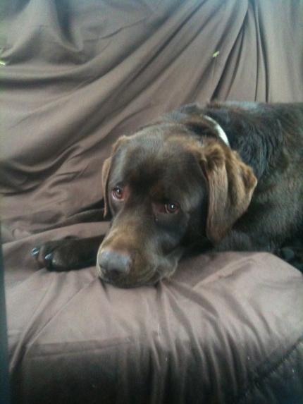 Brutus, Labrador Retriever Male