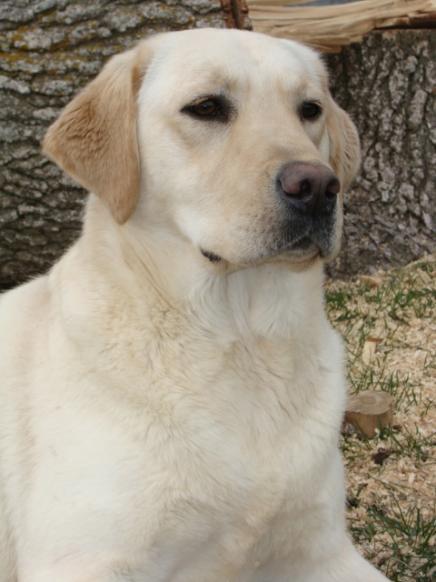 Louise, Labrador Retriever Female