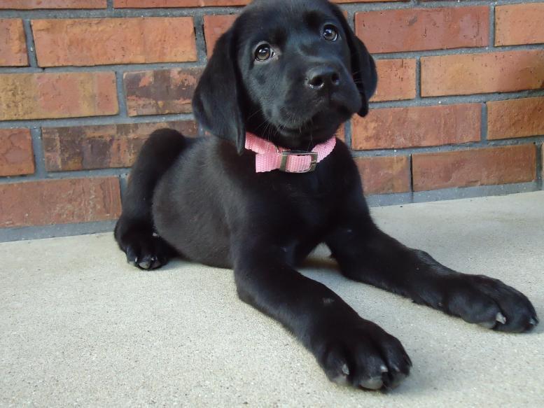 Labrador Retriever puppy sold