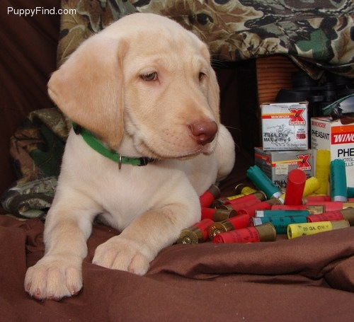 Labrador Retriever puppy sold