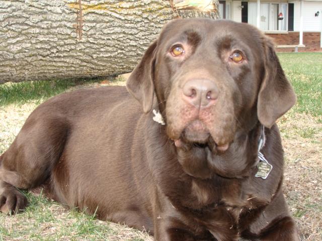 Sadie, Labrador Retriever Female