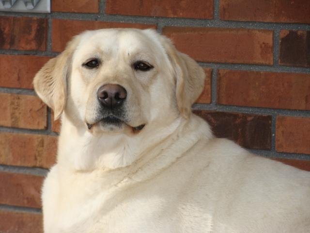 Thelma, Labrador Retriever Female